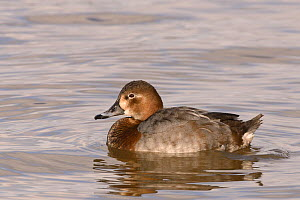 European pochard (Aythya ferina) female swimming on flooded marshland, Gloucestershire, UK, February.  -  Nick Upton