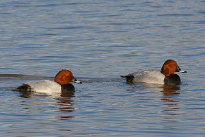 Two European pochard drakes (Aythya ferina) swimming on flooded pastureland, Gloucestershire, UK, January.  -  Nick Upton