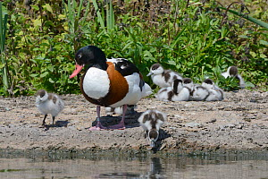 Two Shelduck ducklings (Tadorna tadorna) approaching the shore of a lake to drink as their mother watches, and their siblings rest in a huddle, Gloucestershire, UK, May.  -  Nick Upton