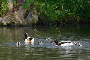 Shelduck pair (Tadorna tadorna) swimming with their brood of dabbling ducklings on a lake, Gloucestershire, UK, May.  -  Nick Upton