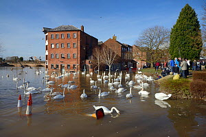 People watching Mute swans (Cygnus olor) swimming near flooded Old Cornmill in Worcester after the city centre was inundated by the River Severn bursting its banks, Gloucestershire, February 2014. - Nick Upton