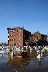 Mute swans (Cygnus olor) swimming near flooded Old Cornmill in Worcester after the city centre was inundated by the River Severn bursting its banks, Gloucestershire, February 2014. - Nick Upton