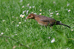 Juvenile Blackbird (Turdus merula) foraging for earthworms on a lawn, poised to strike, Cornwall, UK, June. - Nick Upton