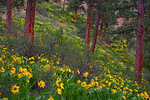 Arrowleaf balsamroot (Balsamorhiza sagittata) flowers in bloom on slope with Ponderosa pines (Pinus ponderosa) Eastern Washington, USA, May 2014.  -  Floris  van Breugel