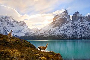 Two Guanacos (Lama guanicoe) at edge of lake with Cuernos del Paine beyond. Torres del Paine National Park, Chile, June 2014.  -  Floris  van Breugel
