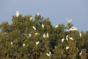 Cattle egrets (Bubulcus ibis) in tree, Mangroves near Abu Dhabi City, UAE. - Hanne & Jens Eriksen