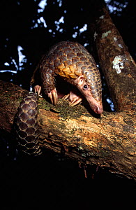 Chinese pangolin (Manis pentadactyla) in a tree at dusk, Komodo National Park, Indonesia. - Michael Pitts