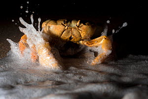 Land Crab (Johngarthia lagostoma) female spawning on surf line at night, North East Bay, Ascension Island. March. - Michael Pitts