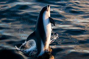 Commersons dolphin (Cephalorhynchus commersonii) leaping in Southern Ocean, East Falklands. March.  -  Michael Pitts