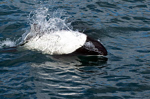 Commerson's dolphin (Cephalorhynchus commersonii) breaching off the North coast of Saunders Island, West Falklands, Southern Ocean. March 2014.  -  Michael Pitts
