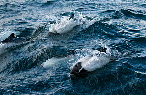 Pod of Commerson's dolphin (Cephalorhynchus commersonii) breaching off the North coast of Saunders Island, West Falklands, Southern Ocean. March  -  Michael Pitts