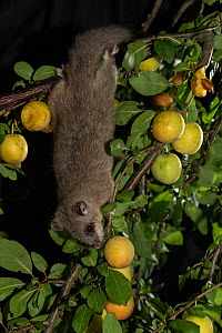 Edible dormouse (Glis glis) reaching down a branch to feed on mirabelle plums (Prunus domestica), Lower Saxony, Germany, captive, July.  -  Kerstin  Hinze