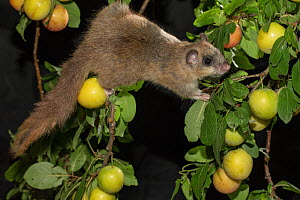 Edible dormouse (Glis glis) climbing beteen branches, feeding on mirabelle plums (Prunus domestica), Lower Saxony, Germany, captive, July.  -  Kerstin  Hinze