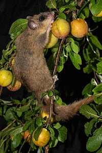 Edible dormouse (Glis glis) moving between branches, feeding on mirabelle plums (Prunus domestica), Lower Saxony, Germany, captive, July.  -  Kerstin  Hinze
