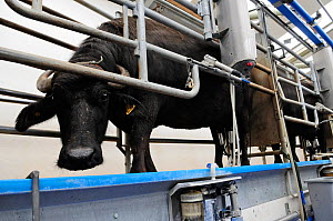 Waterbuffalo (Bubalus bubalis) in the milking parlour, Laverstoke Park Farm, Hampshire, UK, September 2010.  -  Rob Cousins