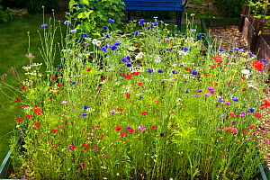 Wildflowers with Cornflowers (Centaurea cyanus), Poppies (Papaver rhoeas) and many other species, UK, July.  -  Rob Cousins