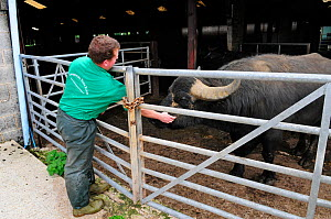 Farmer with Domestic Water buffalo (Bubalus bubalis) at Laverstoke Park Farm, Hampshire, UK, September.  -  Rob Cousins