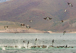 Feeding frenzy with blue footed boobies (Sula nebouxii), brown pelicans (Pelecanus occidentalis) and gulls diving and scooping into a mass of krill and sardines, CONANP protected area, Baja Sur, Sea o...  -  Jack  Dykinga