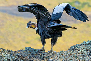 Male Andean Condor (Vultur gryphus) flapping wings, Los Cuernos Peaks, Torres del Paine, Chile. March. - Jack  Dykinga