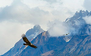 Male Andean Condor (Vultur gryphus) flying amongst the clouds, Los Cuernos Peaks, Torres del Paine, Chile. March. - Jack  Dykinga