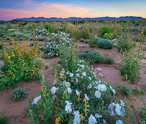 White flowering birdcage evening primrose (Oenothera deltoides), yellow evening primrose (Oenothera primiveris) and Coulter's globemallow (Sphaeralcea coulteri) with the Sierra Pinta Mountains in the... - Jack  Dykinga