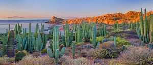 Cardon cactus (Pachycereus pringlei) and Biznaga/Barrel cactus (Ferocactus diguetii),growing at the edge of the sea, CONANP protected area.Catalina Island, Sea of Cortez, Baja Sur, Mexico. February 20...  -  Jack  Dykinga