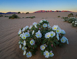 Night blooming birdcage evening primrose (Oenothera deltoides) with the Sheep Hole Mountains in the background at sunset, BLM (Bureau of Land Management) land, Mojave Desert, California. March 2014. - Jack  Dykinga