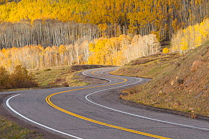 Road winding through aspen trees (Populus tremuloides) in autumn, Dixie National Forest, Boulder Mountain, Utah. October 2013. - Jack Dykinga