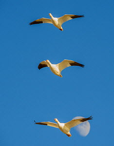 Snow geese (Anser caerulescens) flying toward their gathering pond, with moon in the background,  Boque del Apache National Wildlife Refuge, New Mexico. December.  -  Jack Dykinga