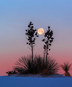 Yuccas (Yucca elata) silhouetted against the moon and morning light, White Sands National Monument, New Mexico. January. - Jack  Dykinga