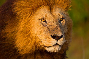 Head portrait of male Lion (Panthera leo), Masai Mara, Kenya. - Will Burrard-Lucas
