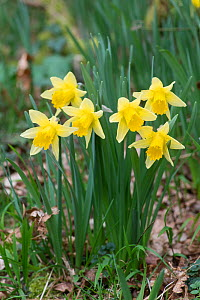 Wild Daffodil (Narcissus pseudonarcissus) flowering in hazel coppiced woodland, West Dean Woods, Sussex, UK, March.  -  Adrian Davies