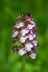 Lady Orchid (Orchis purpurea), Provence, in flower, France, May. - Adrian Davies