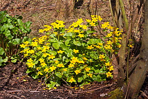Marsh Marigolds (Caltha palustris) WWT London Wetland Centre, Barn Elms,  Barnes, London, England, UK,  Late March  -  Rod Williams
