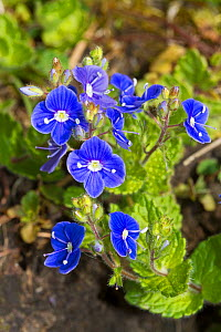 Germander Speedwell (Veronica chamaedrys) Brockley cemetery, Lewisham, South East London, England, UK, April  -  Rod Williams