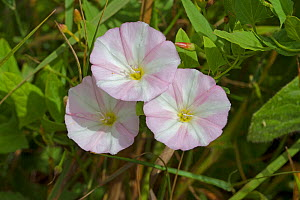 Field Bindweed (Convolvulus arvensis) Ladywell Fields, Lewisham, South East London, England, UK, July - Rod Williams