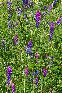 Tufted Vetch (Vicia cracca) Greenwich Peninsula Ecology Park July  -  Rod Williams