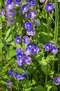 Germander Speedwell (Veronica chamaedrys) Brockley cemetery, Lewisham, South East London, England, UK, May  -  Rod Williams