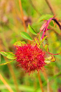 Robin's Pincushion gall on Dog Rose, caused by gall wasp (Diplolepis rosae) Hutchinson's Bank, New Addington, Croydon, South London, England, UK,  August  -  Rod Williams