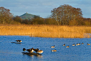 Canada geese (Branta canadensis) on water at Ham Wall RSPB Reserve, part of the Avalon Marshes Complex which has been created from abandoned peat-extraction works. Glastonbury Tor visible beyond. Some...  -  John Waters