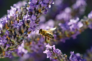 Honey bee (Apis mellifera) in flight, approaching Lavender (Lavandula sp) flowers in garden, Somerset, UK, July. - John Waters