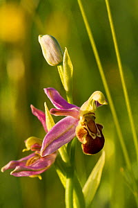 Bee orchid (Ophrys apifera) close up of flower showing bee mimicry to attract pollinators. Chancellor's Farm reserve (managed by Somerset Wildlife Trust) near Priddy, Somerset, UK, June.  -  John Waters