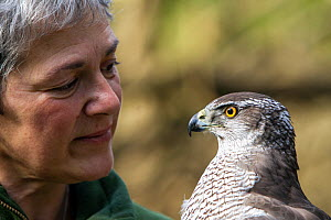 Professional bird handler and trainer Rose Buck holding adult female Goshawk (Accipiter gentilis) Somerset, UK, February 2014. Captive, occurs throughout much of the Northern Hemisphere.  -  John Waters