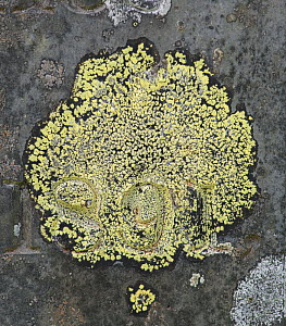 Map Lichen (Rhizocarpon geographicum) in old churchyard, Capel Curig, Snowdonia, north Wales, UK, July.  -  Adrian Davies