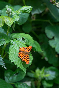 Comma Butterfly, (Polygonia c-album) Surrey, England, June.  -  Adrian Davies