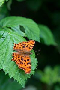 Comma Butterfly (Polygonia c-album) Surrey, England, June. Crop of 1489961.  -  Adrian Davies