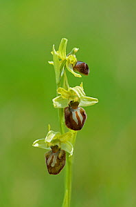 Early Spider Orchid (Ophrys sphegodes) Samphire Hoe, Kent, England, April.  -  Adrian Davies