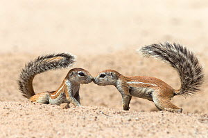 Ground squirrels (Xerus inauris) greeting, Kgalagadi Transfrontier Park, Northern Cape, South Africa, non-ex. Non-ex. - Ann  & Steve Toon