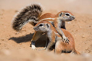 Young ground squirrels (Xerus inauris) playing, Kgalagadi Transfrontier Park, South Africa. Non-ex. - Ann  & Steve Toon