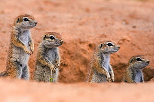 Young Ground squirrels (Xerus inauris) at burrow, Kgalagadi Transfrontier Park, South Africa. Non-ex. - Ann  & Steve Toon